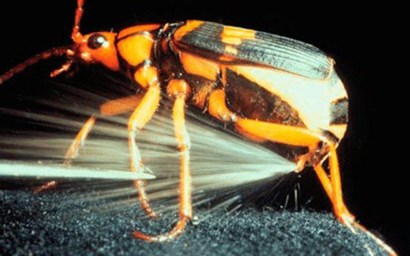 bombardier-beetles-1-800x500.jpg