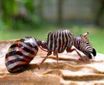 zebraant.jpg