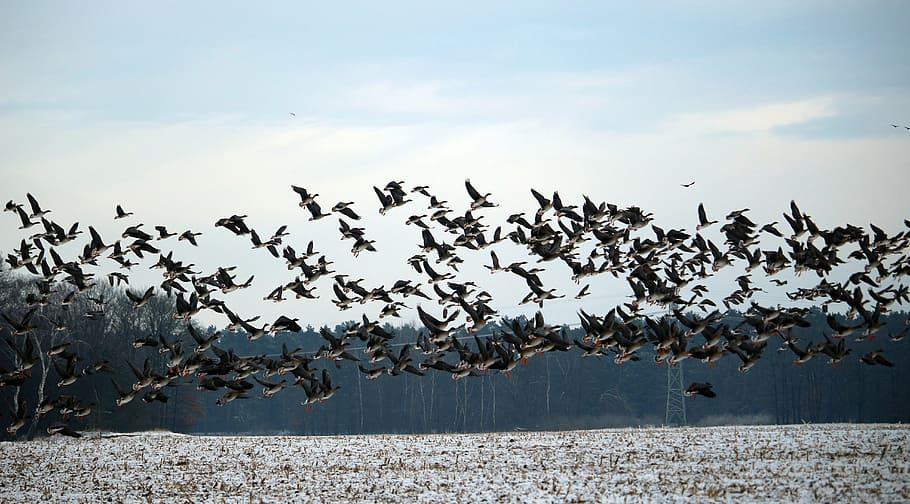 geese_flock.jpg